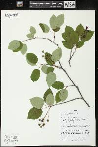 Image of Amelanchier laevis