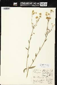Image of Erigeron strigosus var. septentrionalis
