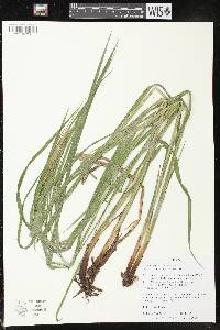 Image of Carex crinita