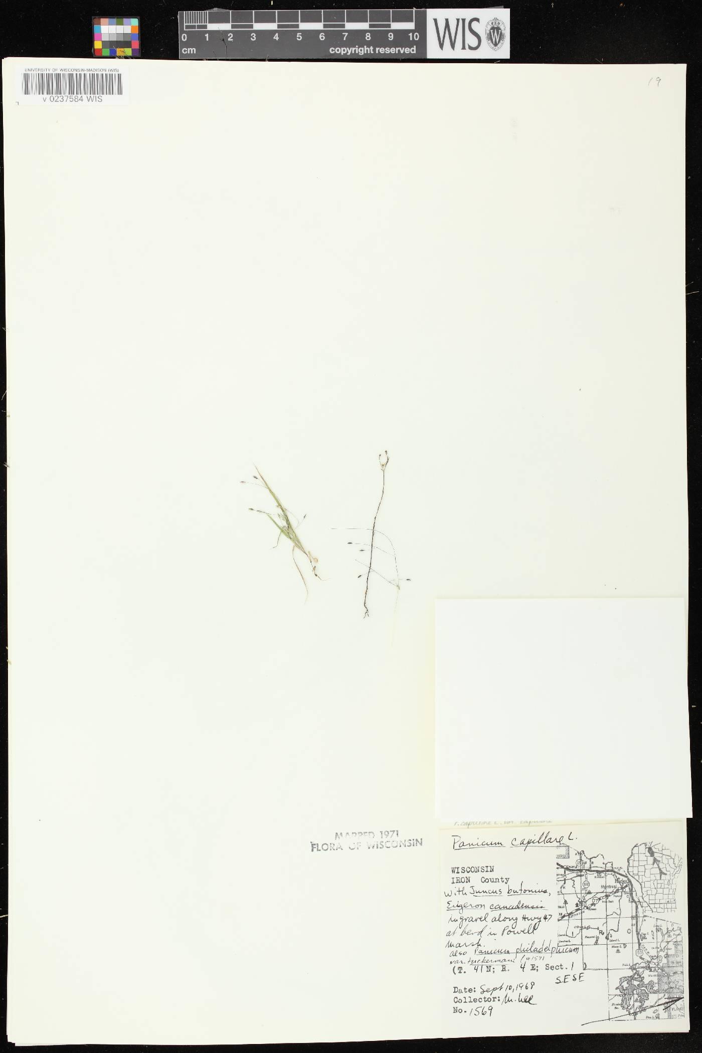 Panicum capillare subsp. capillare image