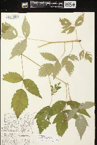 Rubus idaeus subsp. strigosus image