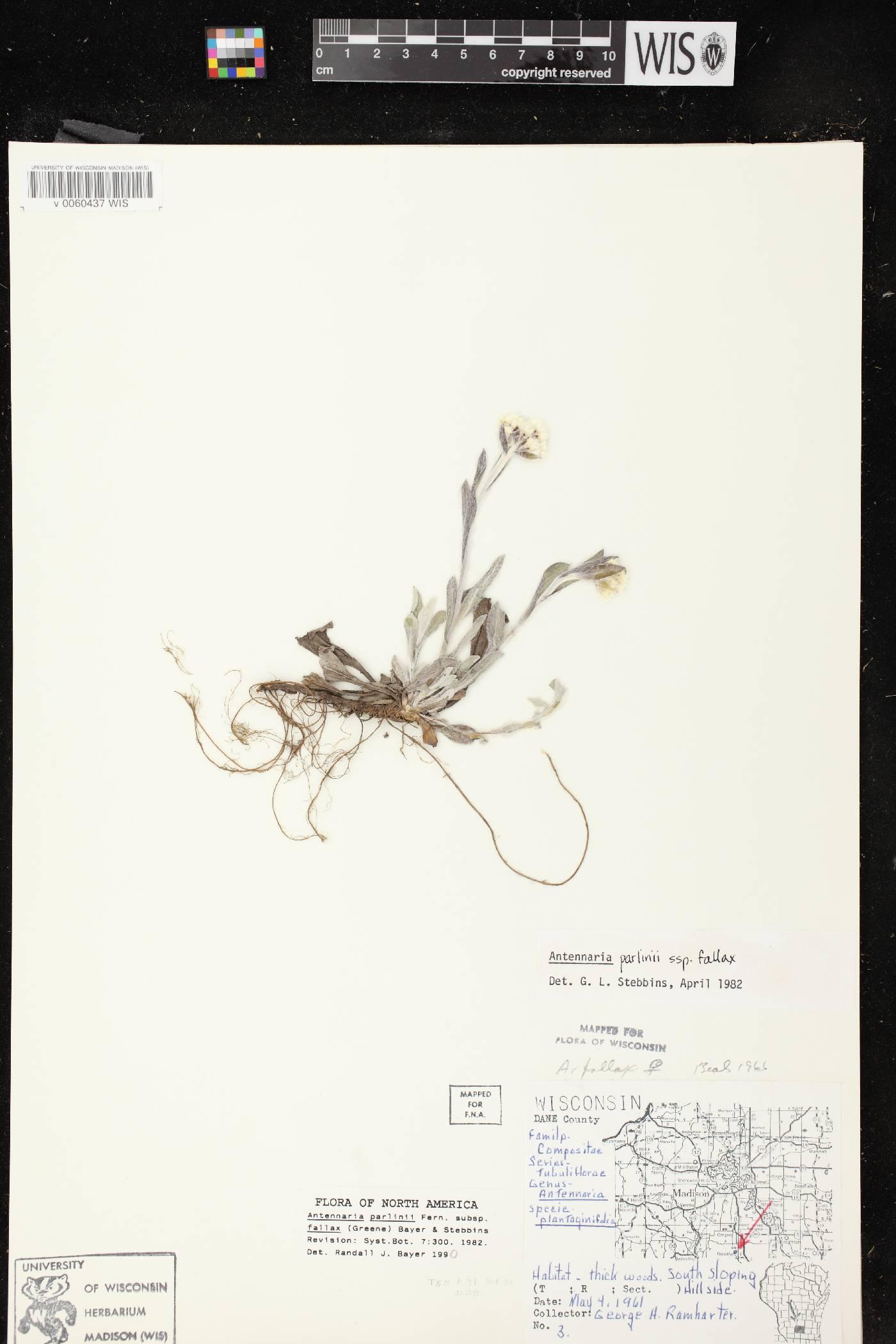 Antennaria parlinii subsp. fallax image