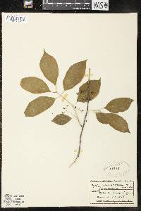 Image of Euonymus atropurpureus