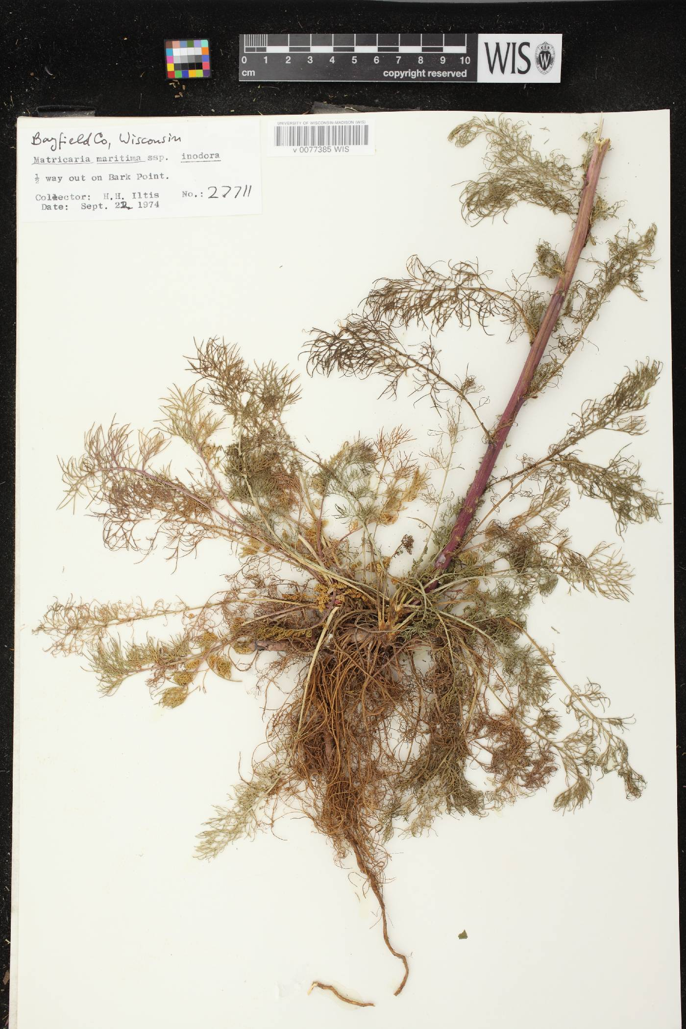 Tripleurospermum inodorum image