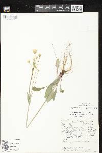 Krigia biflora subsp. glandulifera image