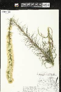 Liatris pycnostachya var. pycnostachya image