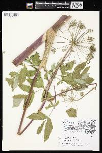 Angelica atropurpurea var. occidentalis image