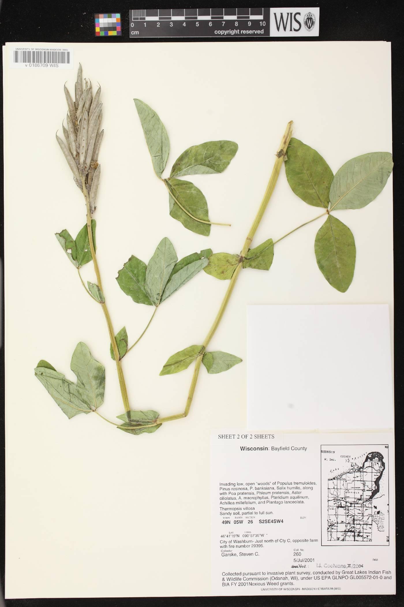 Thermopsis villosa image