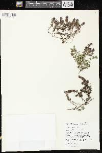 Thymus praecox subsp. arcticus image