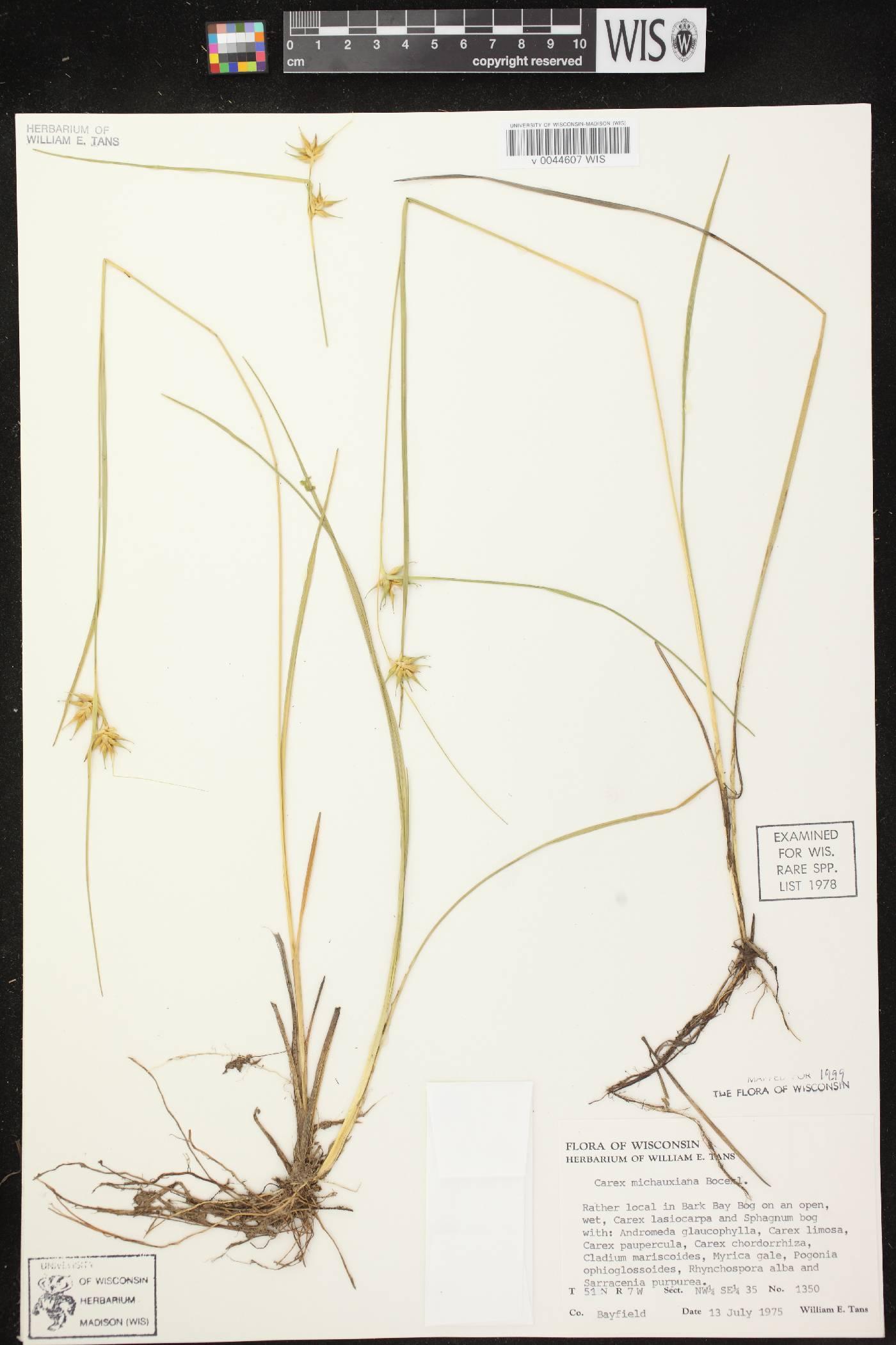 Carex michauxiana image