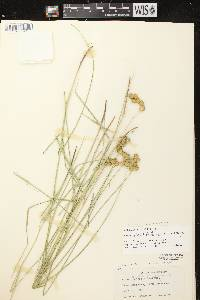 Carex scoparia var. scoparia image