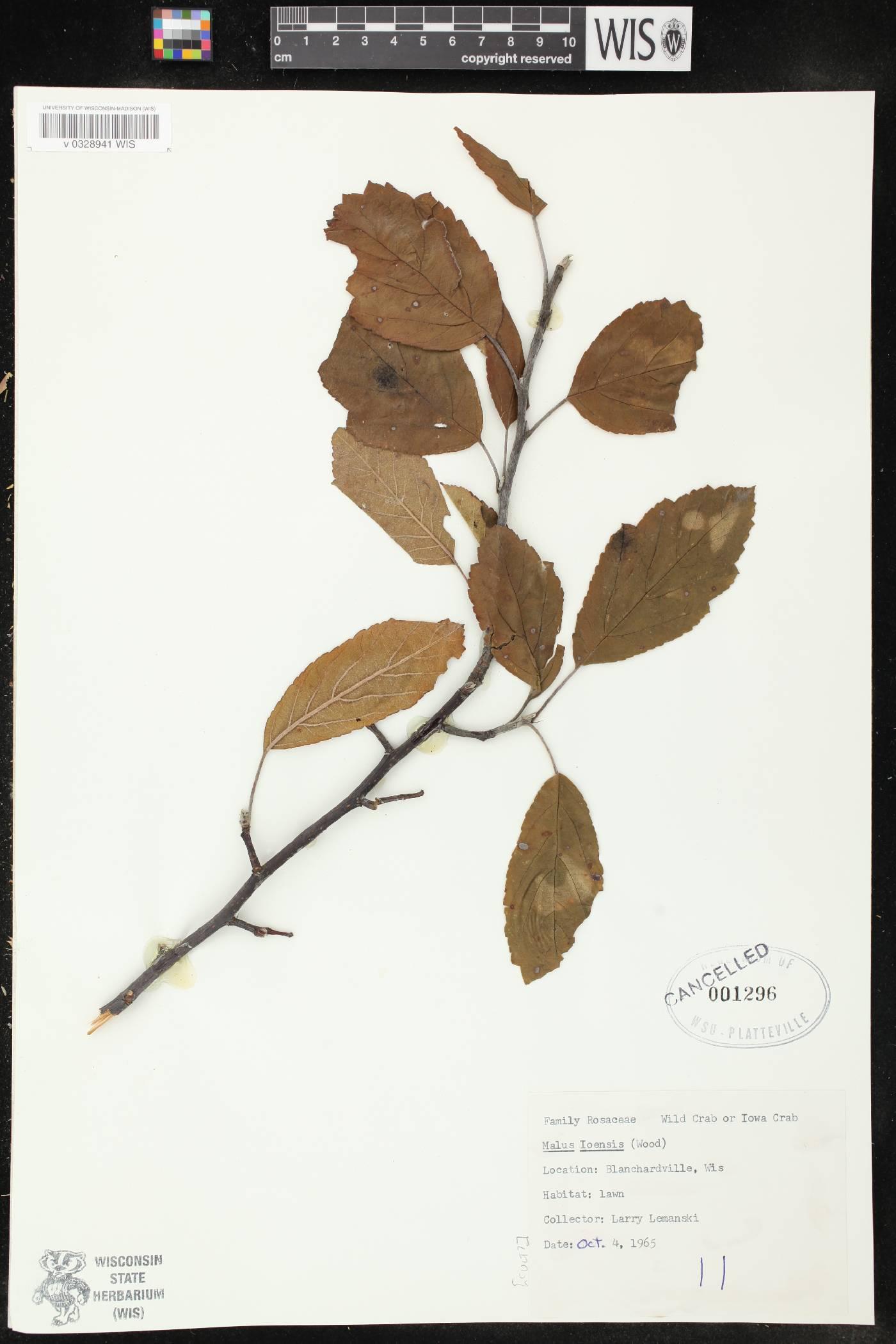 Malus ioensis image