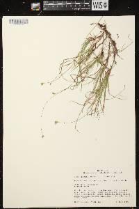 Carex peckii image