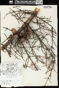 Picea mariana image