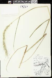 Elymus canadensis image