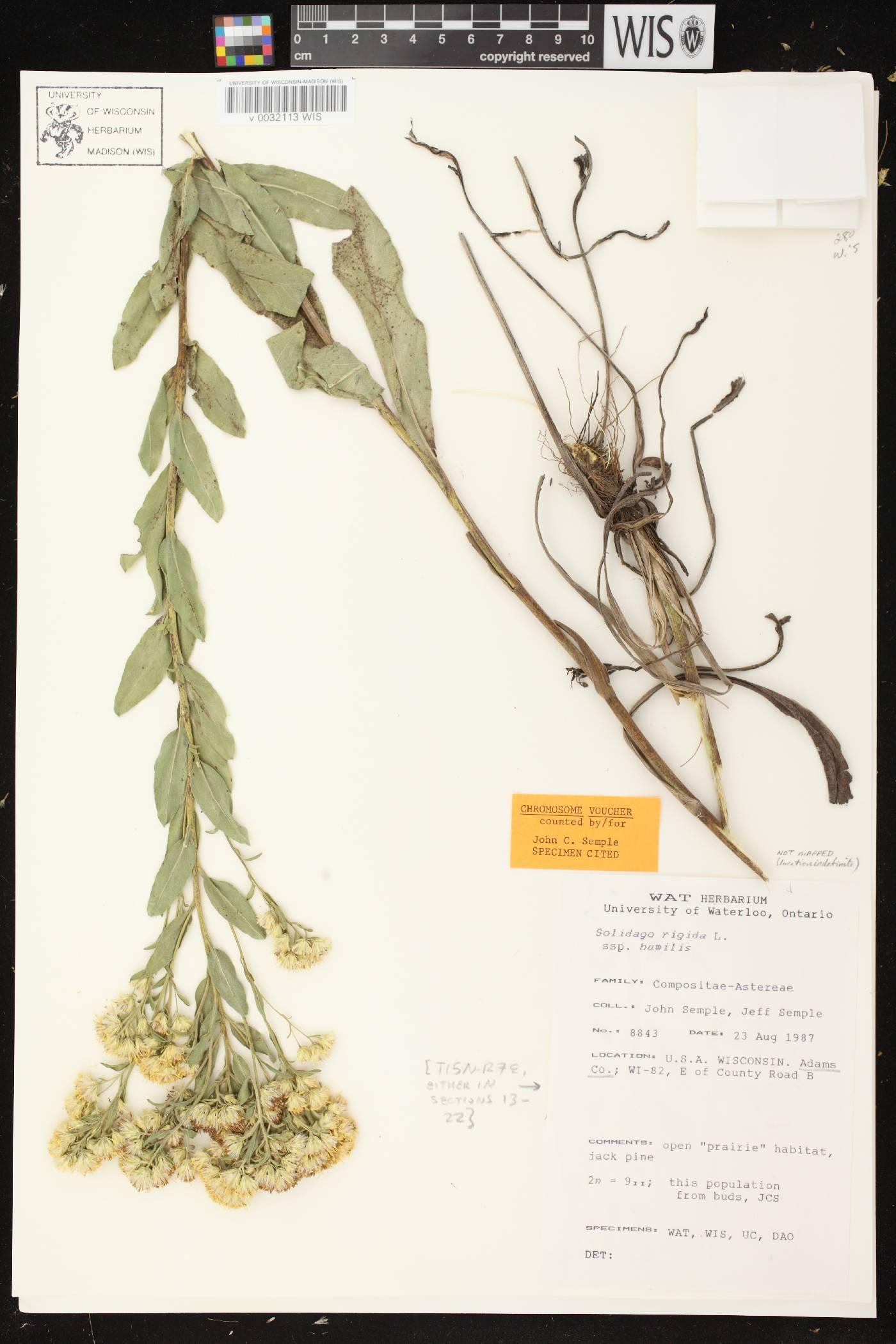 Solidago rigida subsp. humilis image