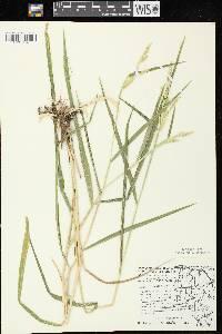 Image of Leersia lenticularis