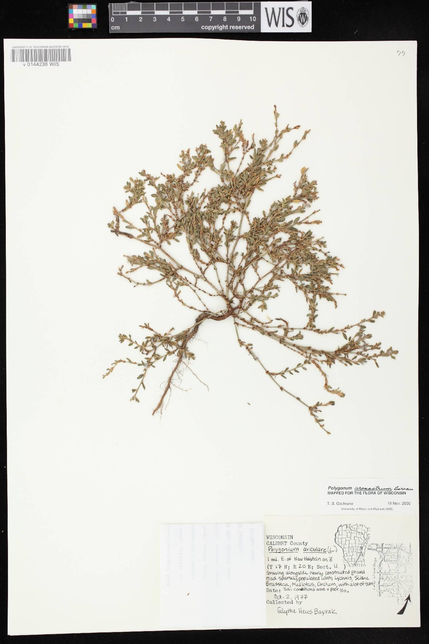 Polygonum aviculare subsp. depressum image