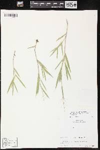 Dichanthelium villosissimum var. praecocius image