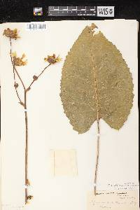 Silphium terebinthinaceum var. terebinthinaceum image