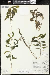 Potamogeton praelongus X P. richardsonii image