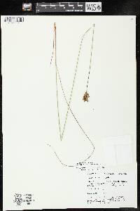 Juncus vaseyi image
