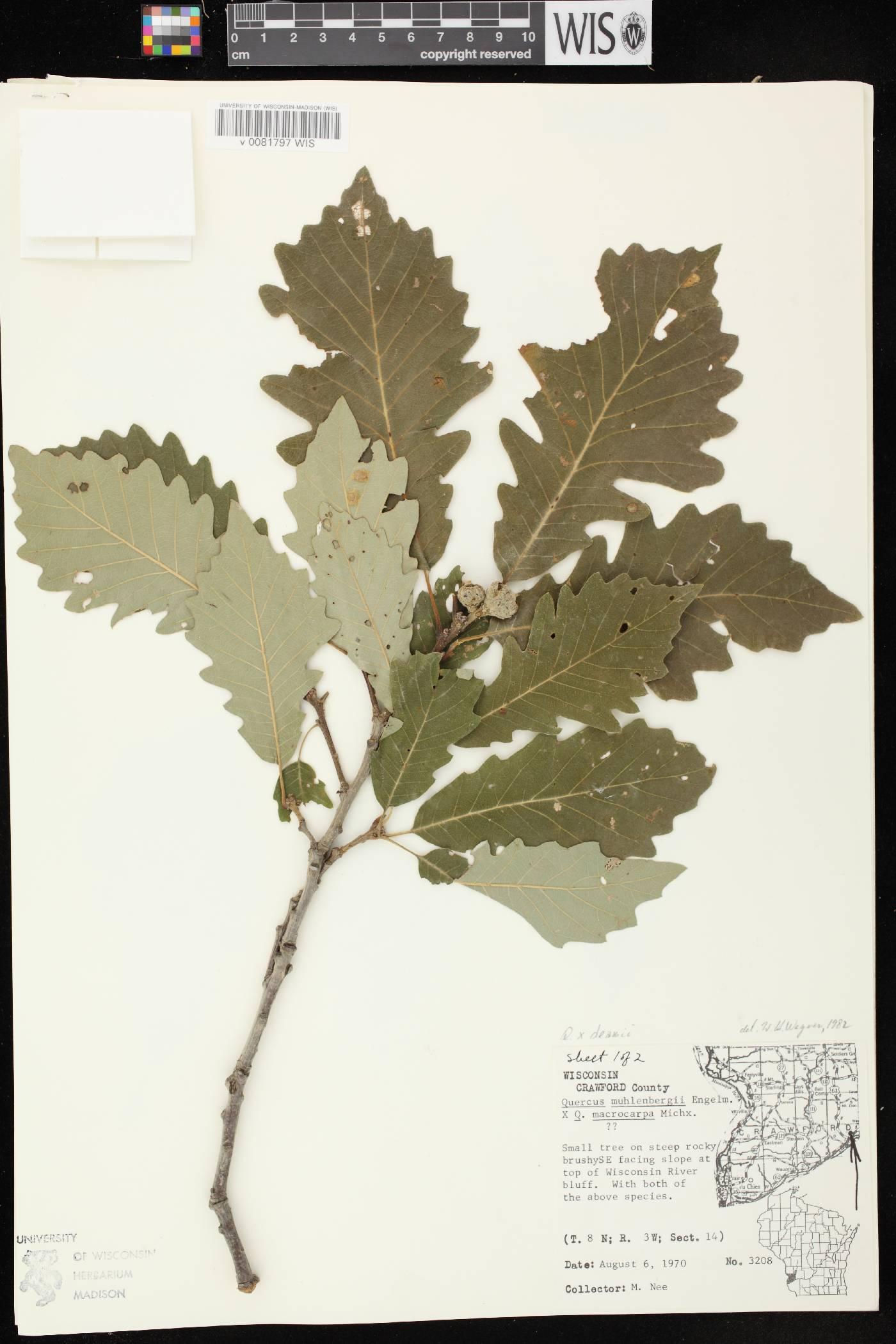 Quercus x deamii image