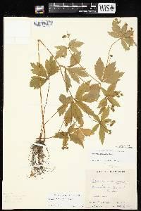 Sanicula odorata image