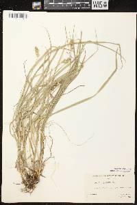 Carex cephaloidea image
