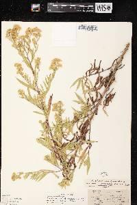 Symphyotrichum lanceolatum var. lanceolatum X S. ontarionis image