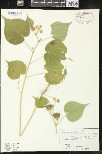 Abutilon theophrasti image