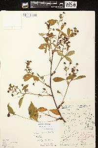 Rubus canadensis X R. sestosus image