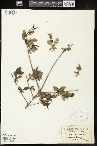 Image of Rhamnus lanceolata