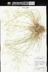 Puccinellia distans image