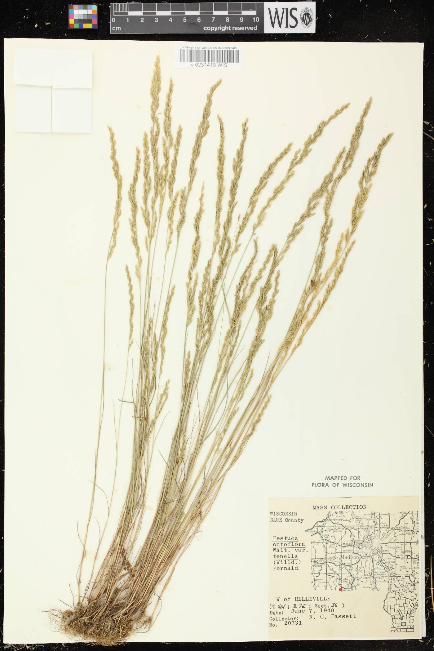 Festuca octoflora var. glauca image