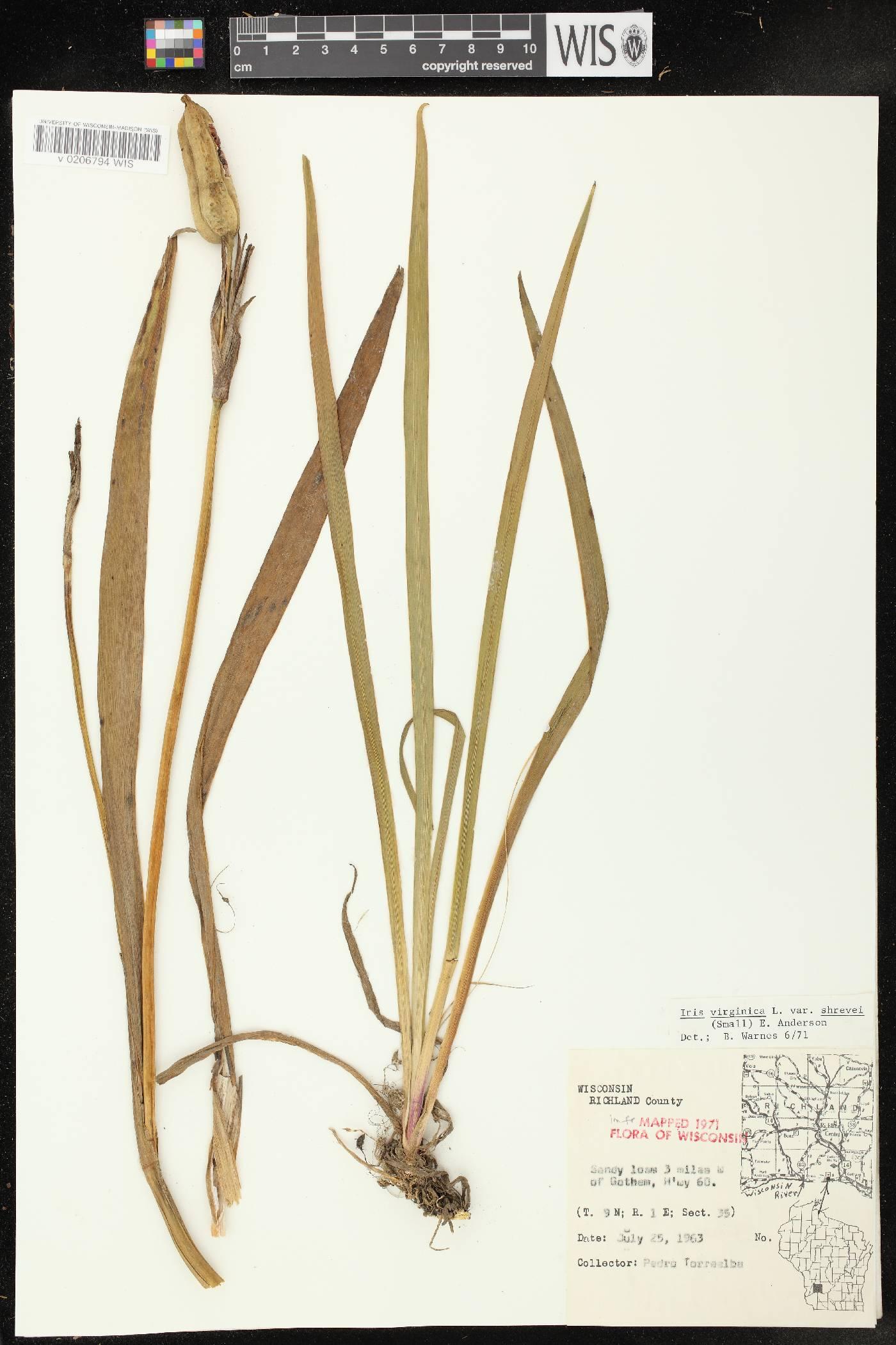 Iris virginica var. shrevei image