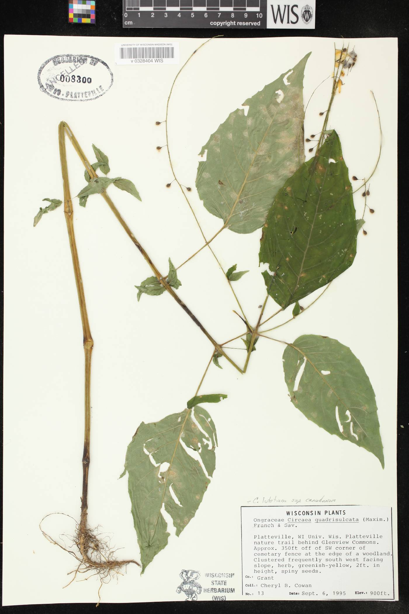Circaea canadensis subsp. canadensis image