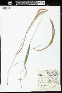 Image of Patis racemosa