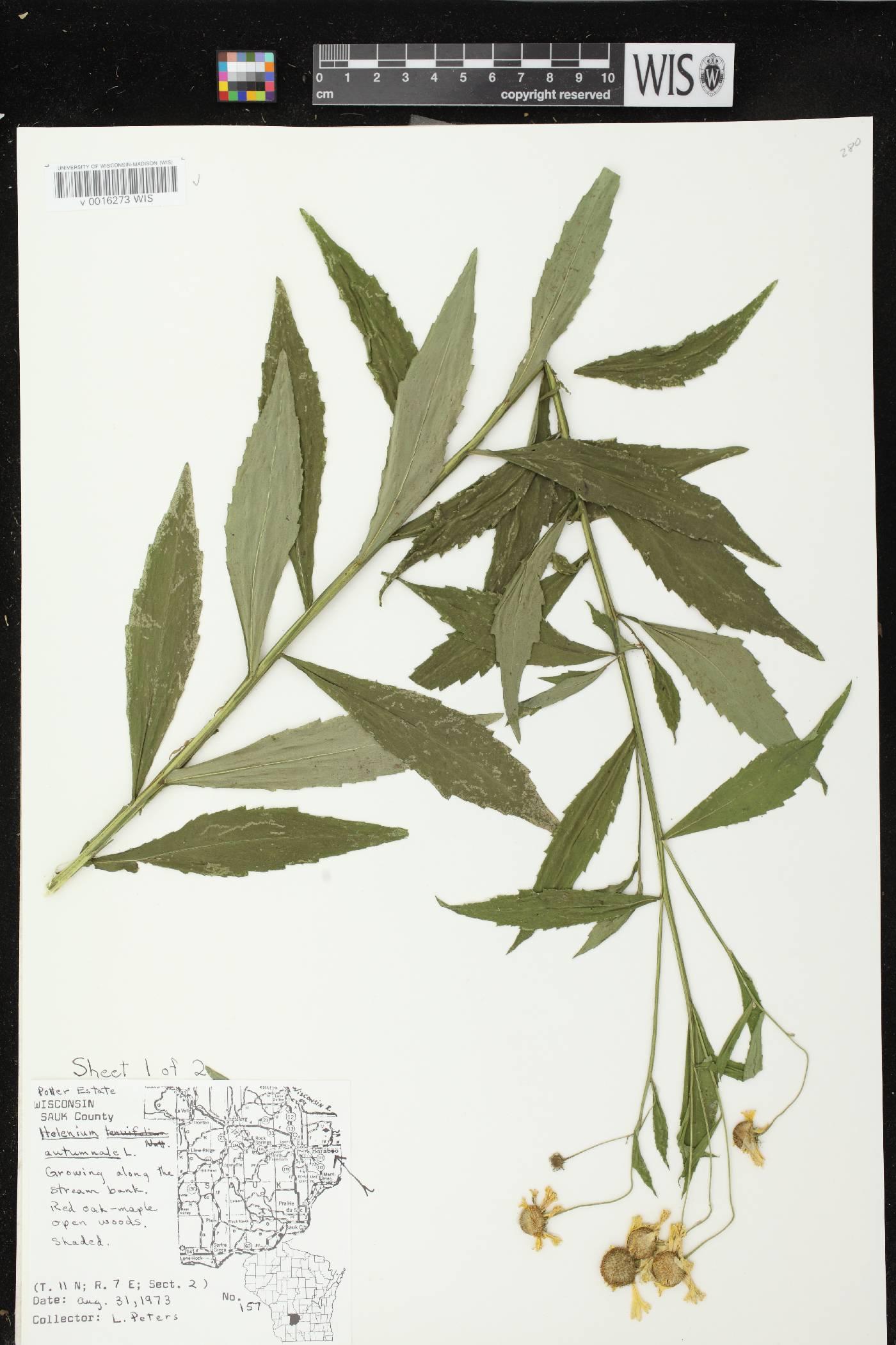 Helenium autumnale image