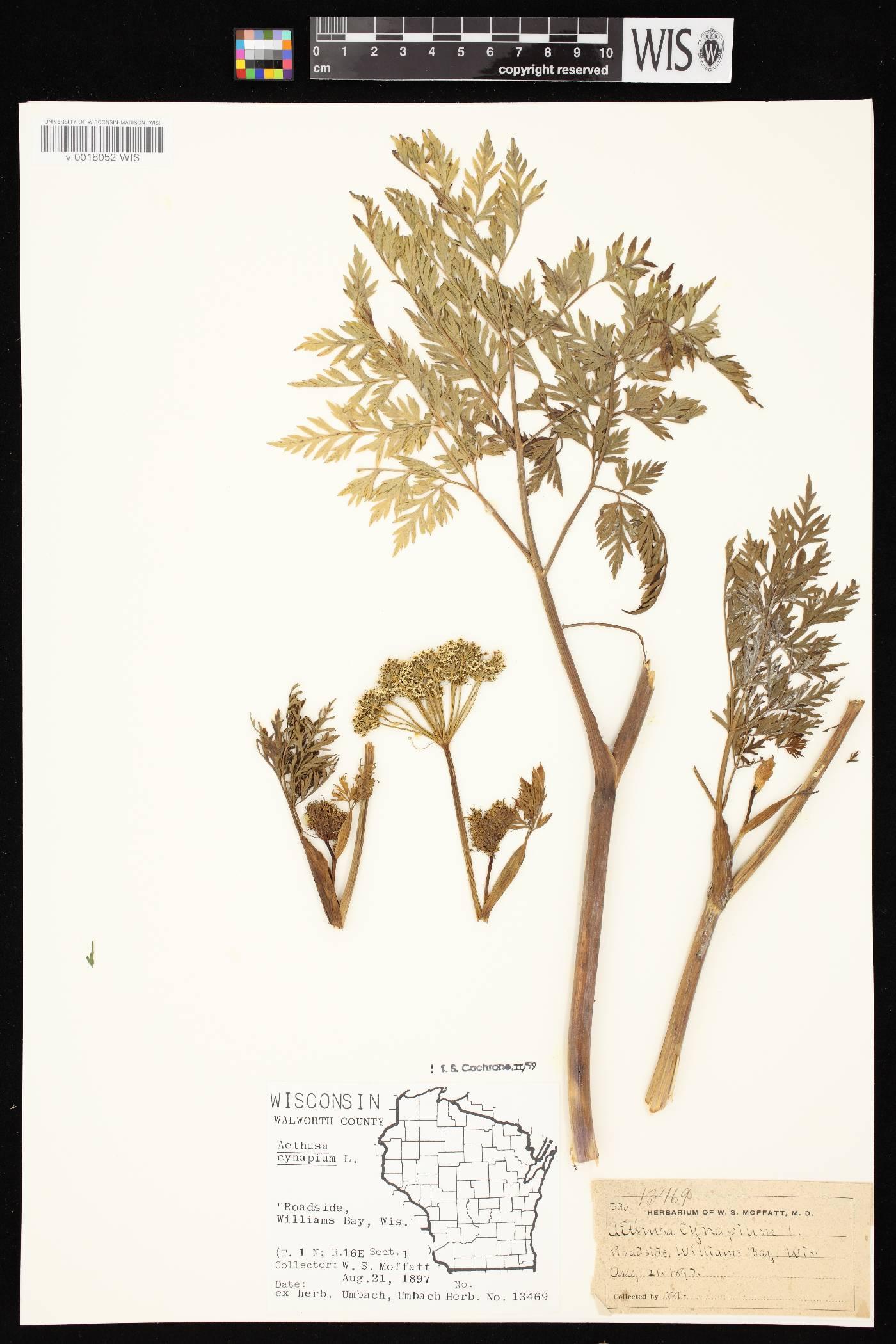 Aethusa cynapium image