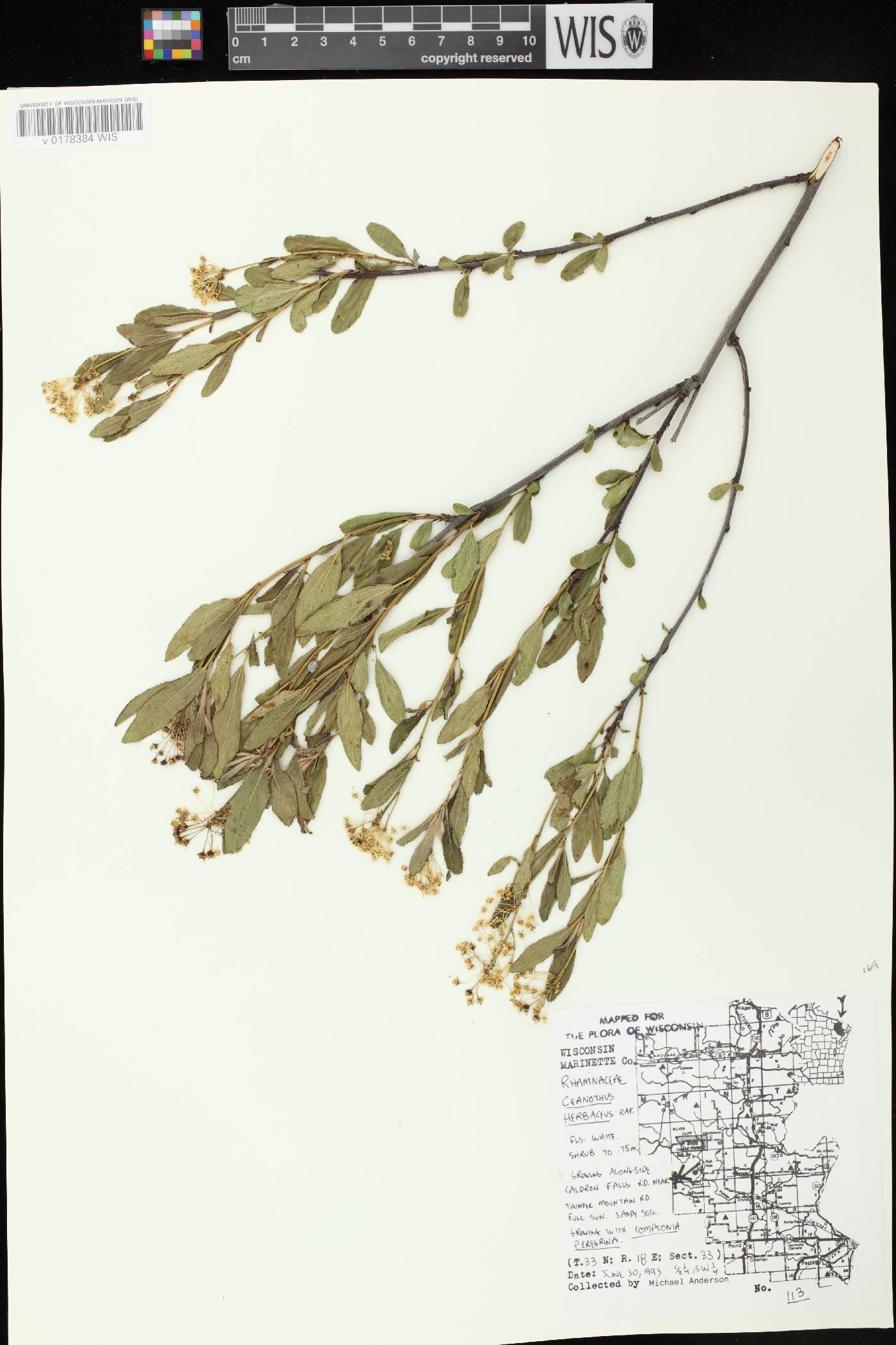 Ceanothus herbaceus image