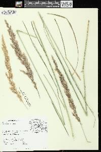 Image of Calamagrostis