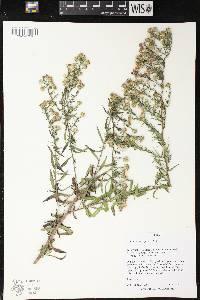 Image of Symphyotrichum pilosum