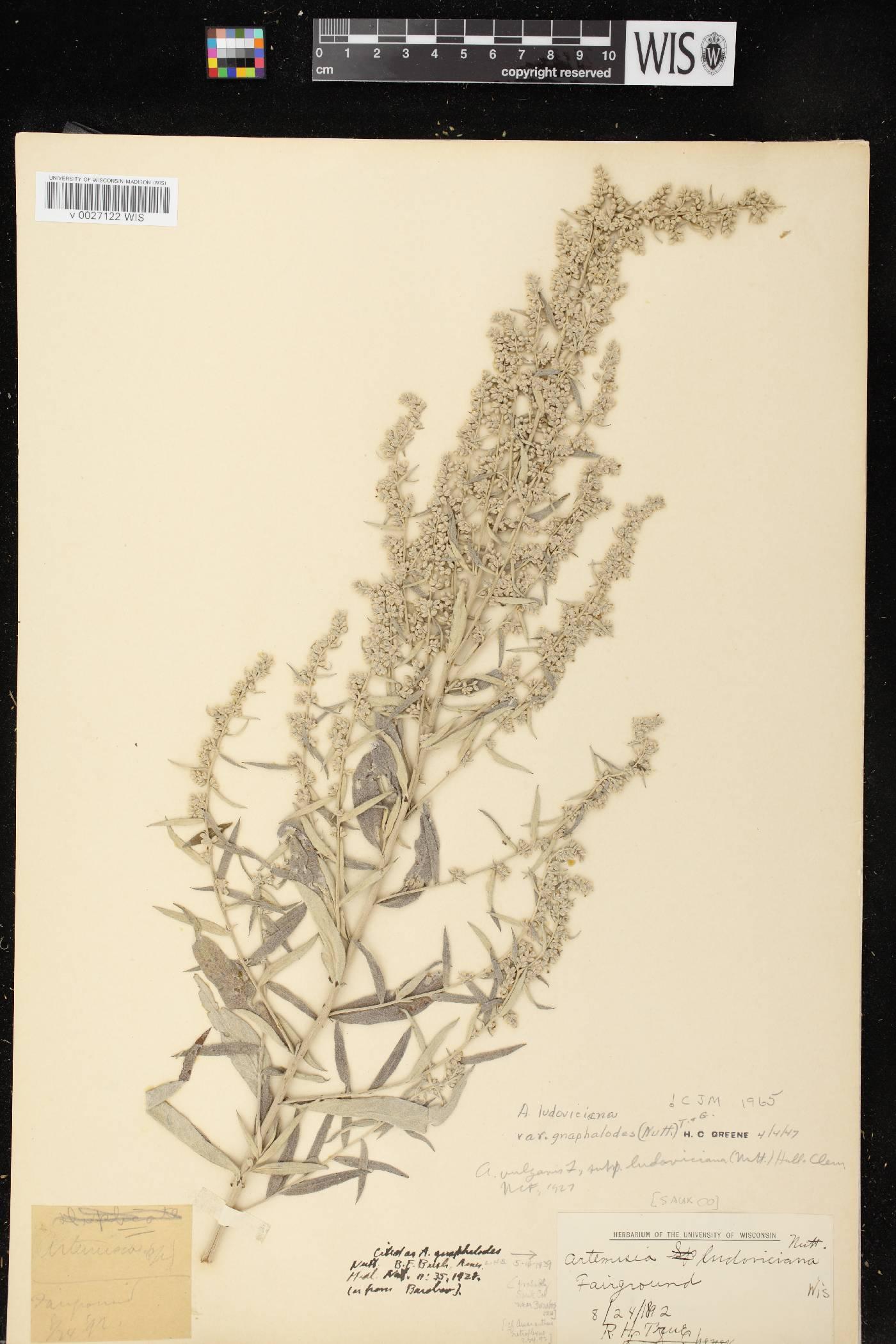 Artemisia ludoviciana subsp. ludoviciana image