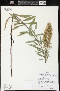 Image of Solidago speciosa subsp. speciosa var. rigidiuscula