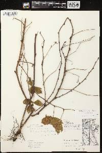 Rubus flagellaris X R. hispidus image