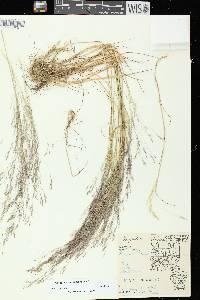 Image of Agrostis
