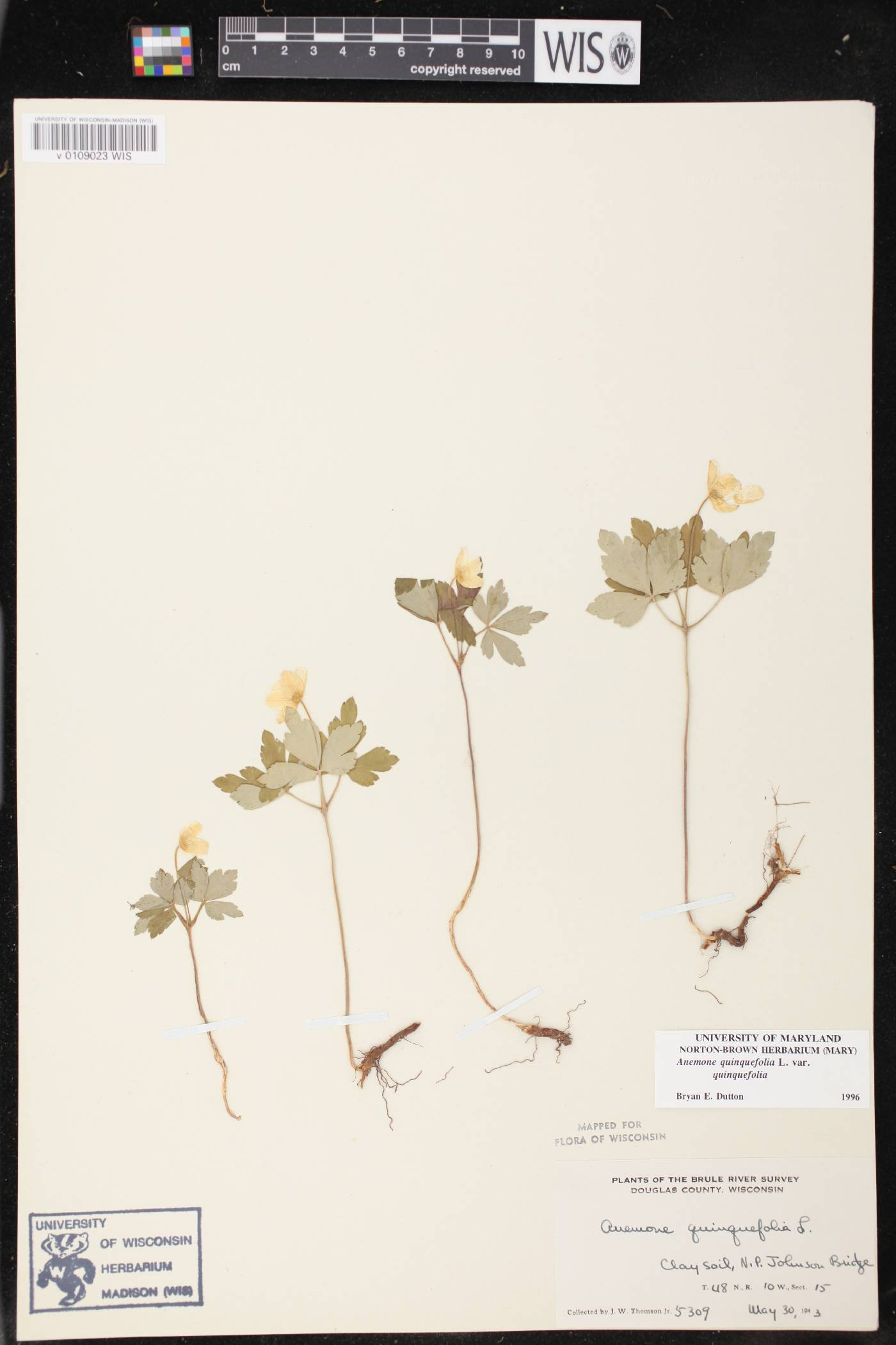 Anemone quinquefolia var. quinquefolia image