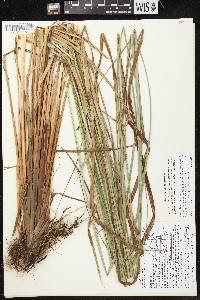 Carex aquatilis var. aquatilis image