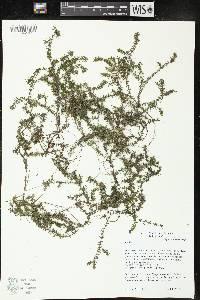 Image of Elodea